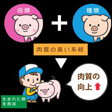母豚・種豚は、肉質の高い系統豚のみ